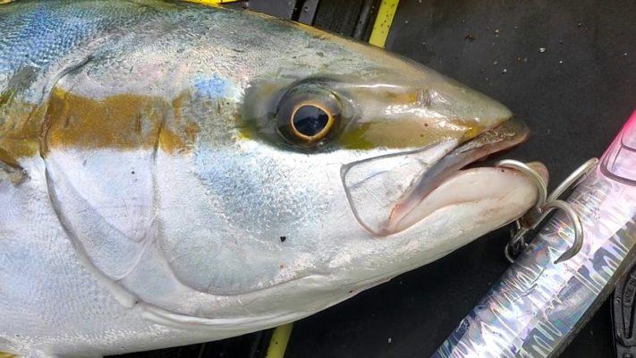 マリアのダックダイブで釣ったヒラマサ