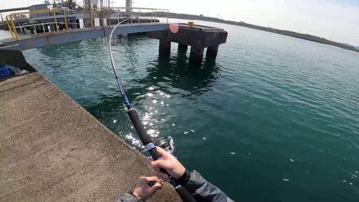 福井の堤防で春のサゴシがヒット